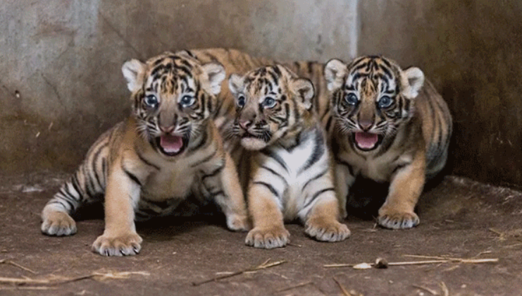 baby-tiger-03-04f4ff.png