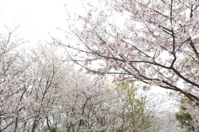 first-cherry-blossoms-01-7b21c8.jpg