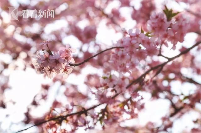 first-cherry-blossoms-02-7cf5e9.jpg